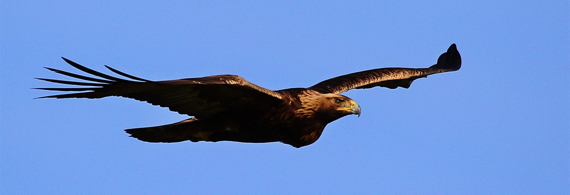 Golden Eagle in flight.